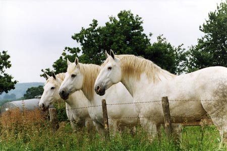 percherons